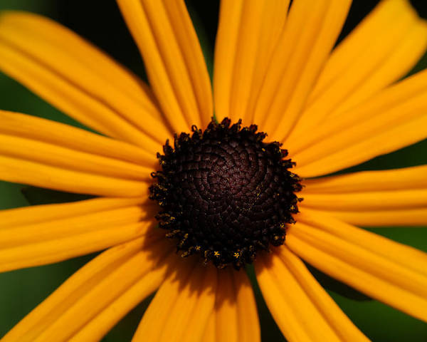 Sunflower Poster featuring the photograph You Are My Sunshine by Mandy Wiltse