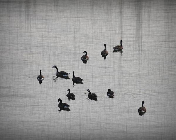 Duck Poster featuring the photograph You Better Get Your Ducks In A Row by Bill Cannon