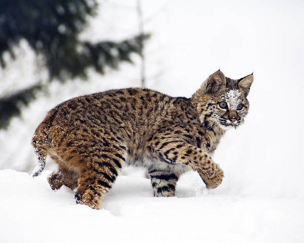 Anger Poster featuring the photograph Young Bobcat Playing In Snow by Melody Watson