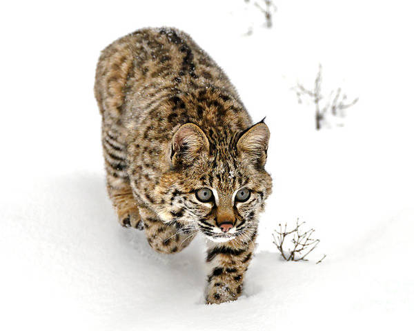 Animal Poster featuring the photograph Young Bobcat Stalking by Melody Watson