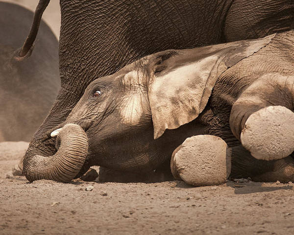 Elephant Poster featuring the photograph Young Elephant Lying Down by Johan Swanepoel
