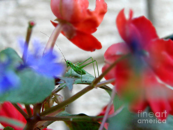 Grasshopper Poster featuring the photograph Young Grasshopper by Anissia Hedrick