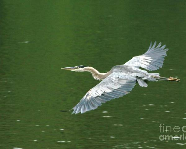 Landscape Nature Wildlife Bird Crane Heron Green Flight Ohio Water Poster featuring the photograph Young Great Blue Heron Taking Flight by Dawn Downour