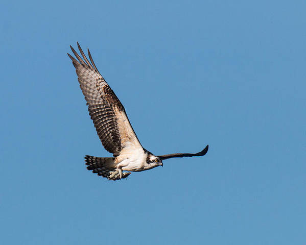 Osprey Poster featuring the photograph Young Osprey Flies With Its Breakfast by Tony Hake