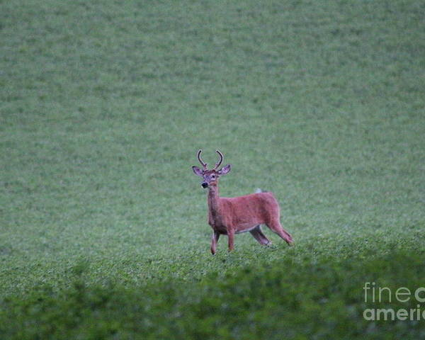 Buck Poster featuring the photograph Young Pomfret Summer Buck by Neal Eslinger