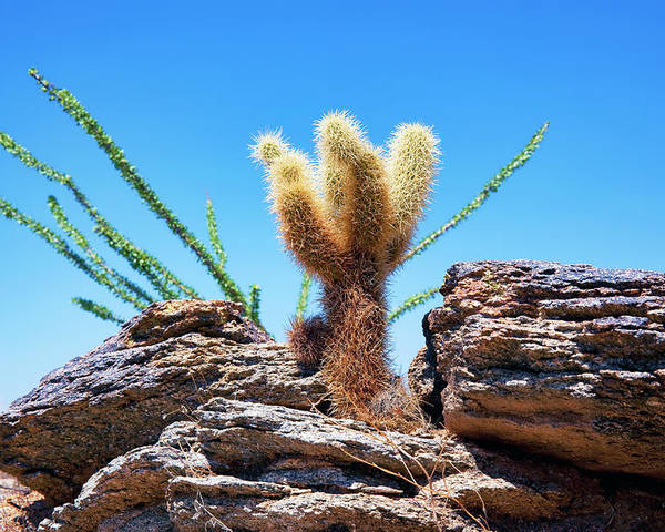 Teddy Poster featuring the photograph Young Teddy Bear Cholla by Kelley King