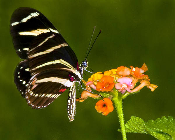 Butterfly Poster featuring the photograph Zebra Heliconian On Milkweed Flower by Don Durfee