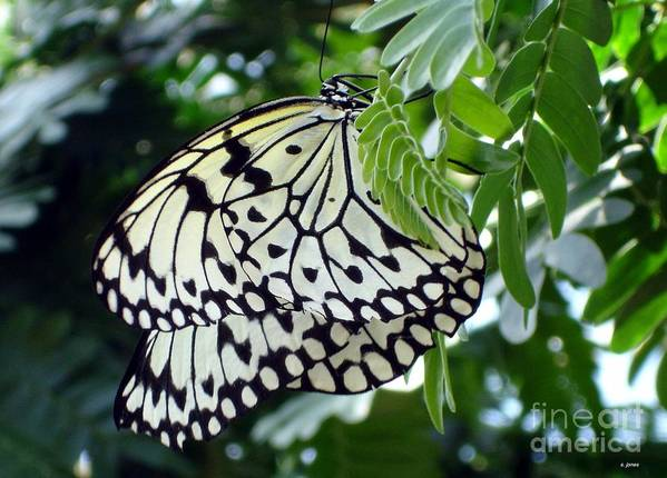 Butterfly Poster featuring the photograph Zebra In Disguise by Shelley Jones