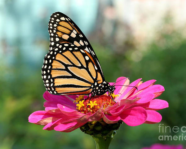 Monarch Butterfly Poster featuring the photograph Zinnia With The Monarch by Steve Augustin