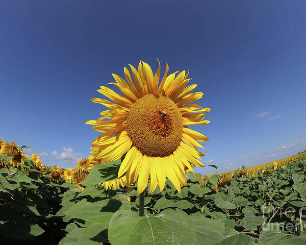 Sunflower Poster featuring the photograph Bee On Blooming Sunflower by Michal Boubin