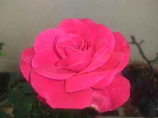 Poster featuring the photograph Pink Rose by Nimu Bajaj and Seema Devjani