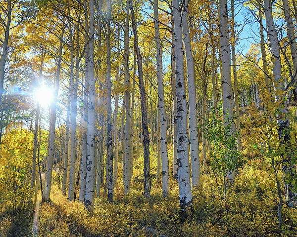 Aspens Poster featuring the photograph Afternoon Aspens by Brian Kerls
