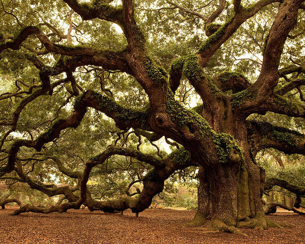 Southern Usa Poster featuring the photograph Ancient Angel Oak Near Charleston by Pgiam