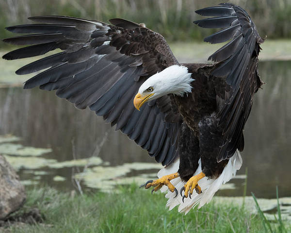 Bald Poster featuring the photograph Bald Eagle by Darlene Hewson