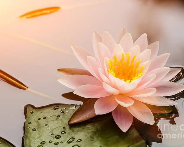 Romance Poster featuring the photograph Beautiful Waterlily Or Lotus Flower by Zhao Jiankang