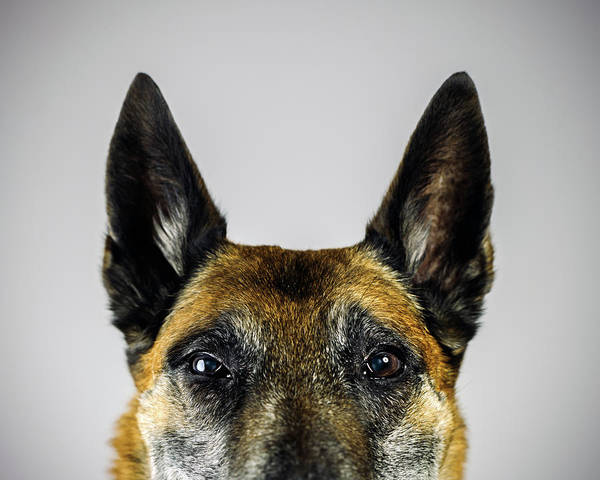 Pets Poster featuring the photograph Belgian Sheperd Malinois Dog Looking At by Joan Vicent Cantó Roig