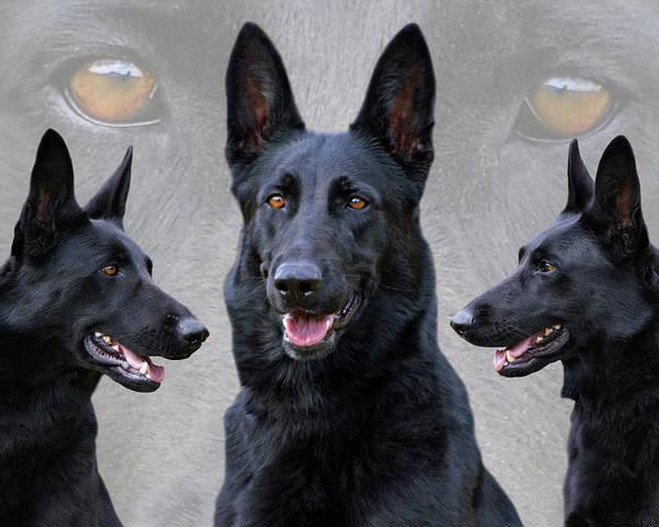 German Shepherd Poster featuring the photograph Black German Shepherd Dog Collage by Sandy Keeton