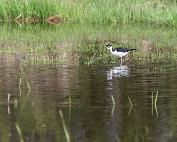 Black-necked Stilt (himantopus Mexicanus) Poster featuring the photograph Black-necked Stilt 2018-1 by Thomas Young