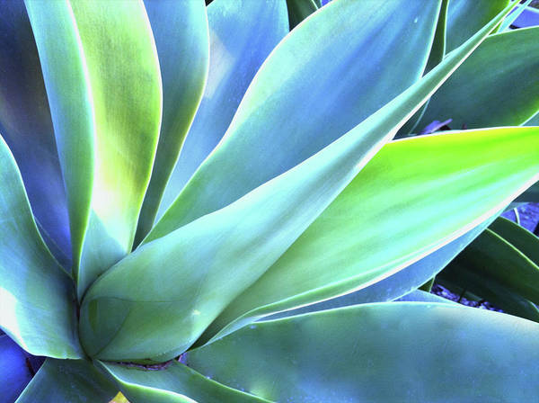 Agave Poster featuring the photograph Blue Agave by Denise Taylor