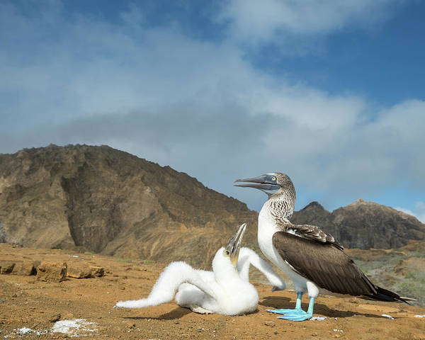 Animal Poster featuring the photograph Blue Footed Booby Chick Begging by Tui De Roy