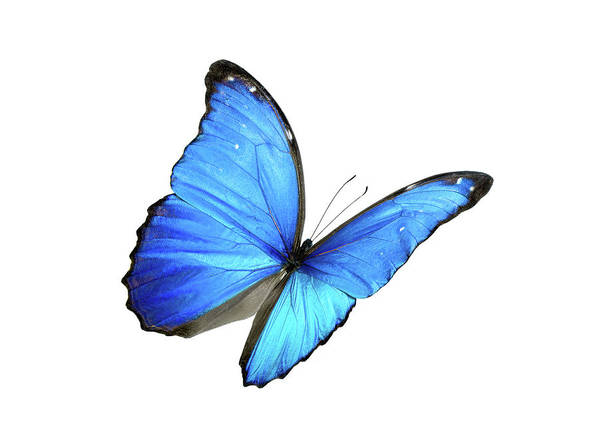 Blue Morpho Butterfly With Black Edges Poster By Lpettet