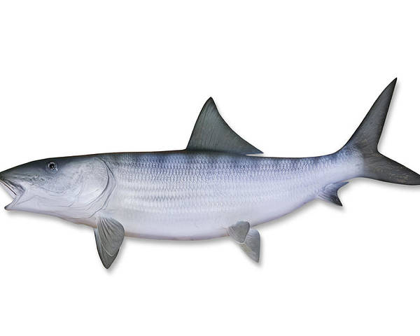 White Background Poster featuring the photograph Bonefish With Clipping Path by Georgepeters