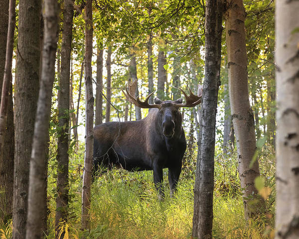 Alaska Poster featuring the photograph Bull Moose In Fall Forest by Scott Slone