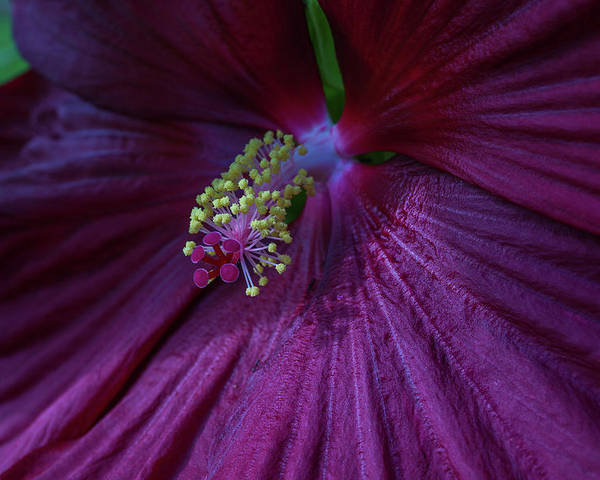 Hibiscus Poster featuring the photograph Burgundy Hibiscus by Linda Howes
