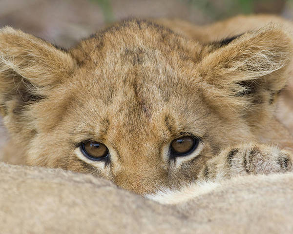 00119b2aa2 Hiding Poster featuring the photograph Close Up Of Lion Cubs Face by Tetra  Images - Wim