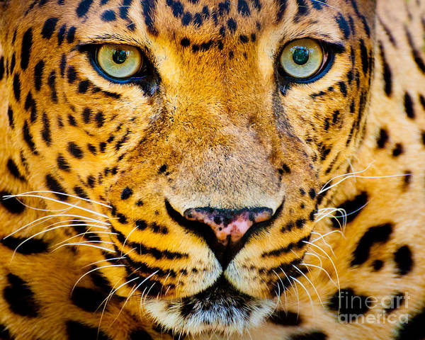 Fur Poster featuring the photograph Close Up Portrait Of Leopard With by Rob Hainer