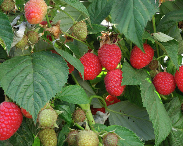 Non-urban Scene Poster featuring the photograph Close-up Ripening Organic Raspberries by Gomezdavid