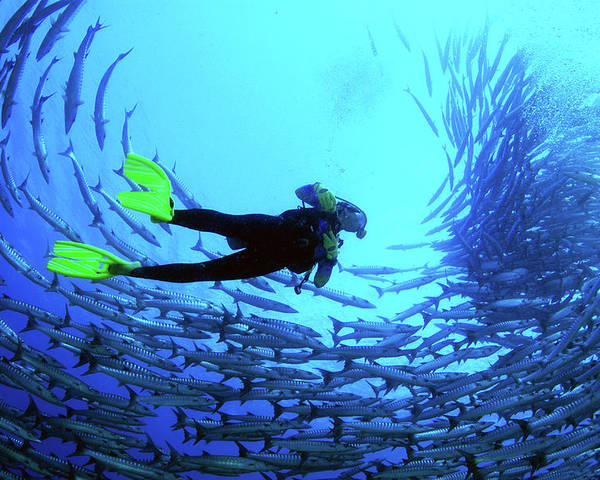 Following Poster featuring the photograph Diver In The Middle Of A School Of Fish by Tim Rock