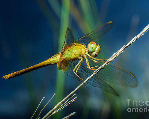 Forest Poster featuring the photograph Dragonflies, Insects, Animals, Nature by Boyphare