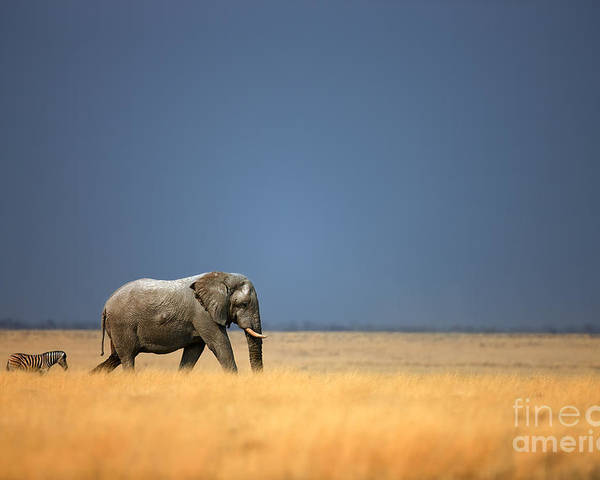 Big Poster featuring the photograph Elephant Bull And Zebra Walking In Open by Johan Swanepoel