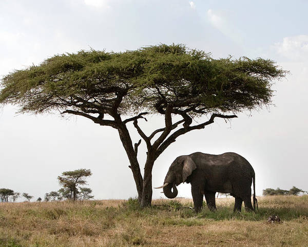CANVAS Elephant Feeds on Acacia Tree Art print POSTER