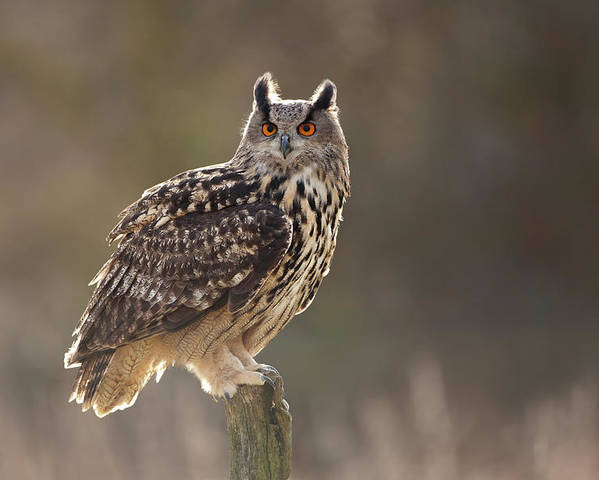 [Image: european-eagle-owl-bubo-bubo-resting-on-nick-cable.jpg]