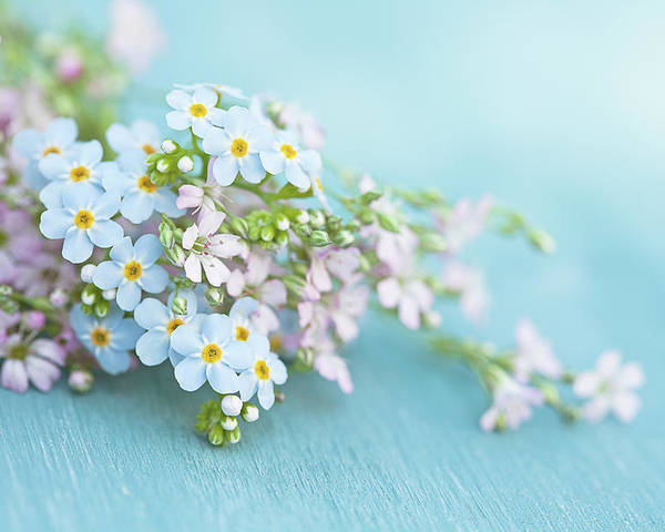 Forget-me-not Poster featuring the photograph Forget Me Not And Wild Thyme Flowers by Isabelle Lafrance Photography