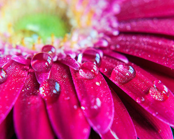 Petal Poster featuring the photograph Gerbera Rain Droplets by Michelle Mcmahon