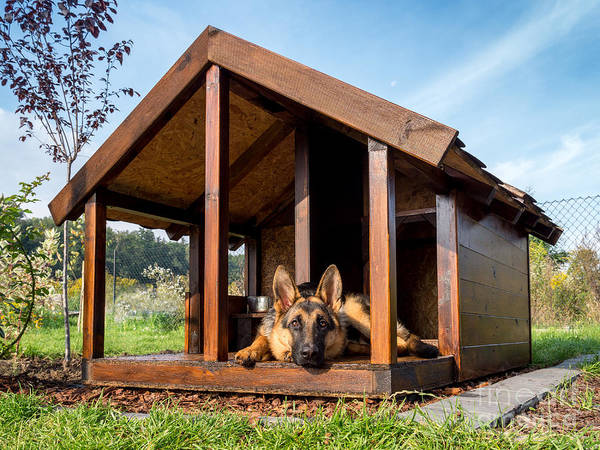 Yard Poster featuring the photograph German Shepherd Resting In Its Wooden by Pryzmat