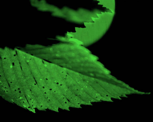 Leaf Poster featuring the photograph Green Leaf in Sun by Lonnie Paulson