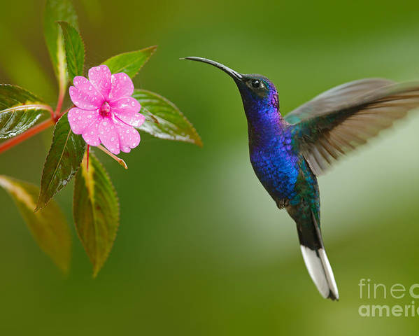 Small Poster featuring the photograph Hummingbird Violet Sabrewing Flying by Ondrej Prosicky