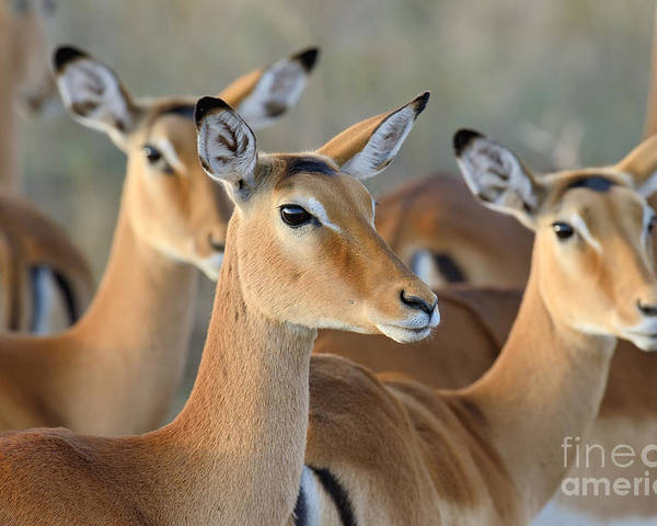Deer Poster featuring the photograph Impala On Savanna In National Park by Volodymyr Burdiak