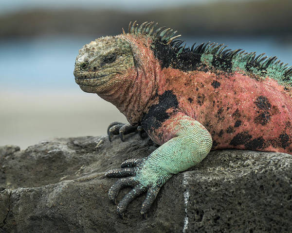 Animals Poster featuring the photograph Marine Iguana Male In Breeding Color by Tui De Roy