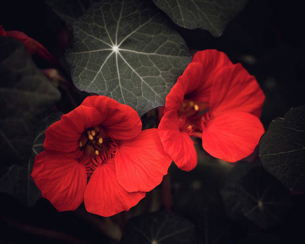 Selective Color Poster featuring the mixed media Nasturtium Drama by Bonnie Bruno