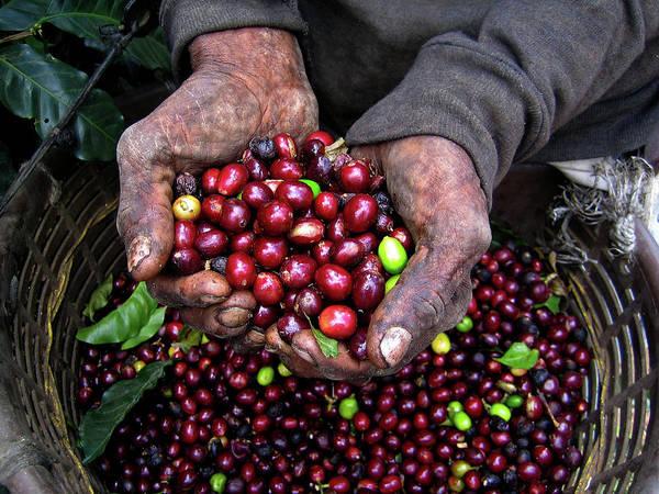 Working Poster featuring the photograph Nicaraguan Coffee Picker by Digi guru