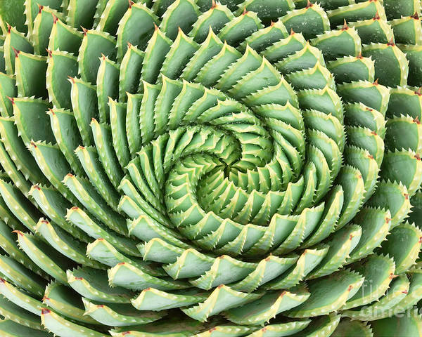 Beauty Poster featuring the photograph Pattern Of Spiral Aloe Aloe Polyphylla by Photosky