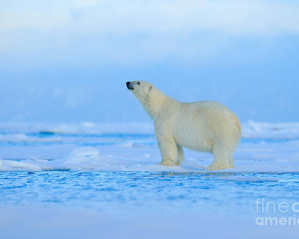 Big Poster featuring the photograph Polar Bear, Dangerous Looking Beast On by Ondrej Prosicky
