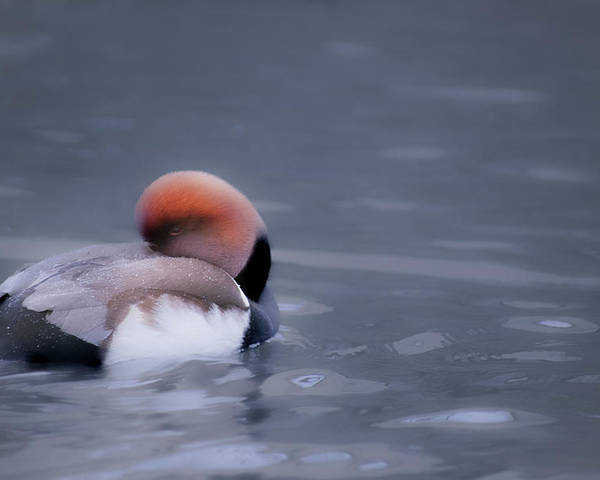 Duck Poster featuring the photograph Red Crested Pochard by Valerie Kingston
