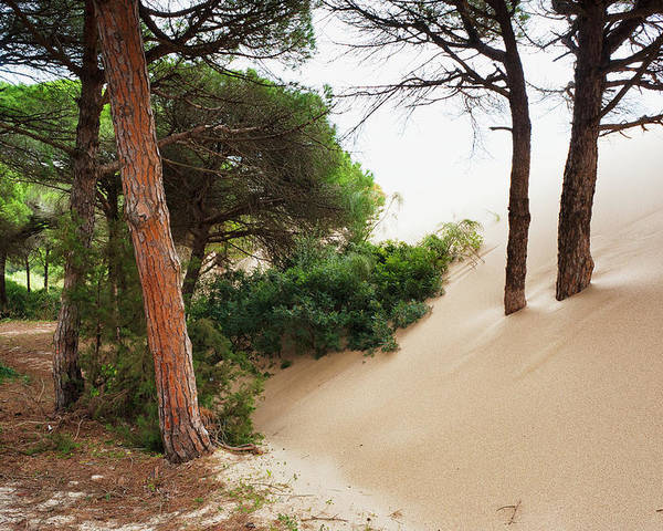 Sand Dune Poster featuring the photograph Sand Drifting Up Onto Tree Trunks At by Ben Welsh / Design Pics