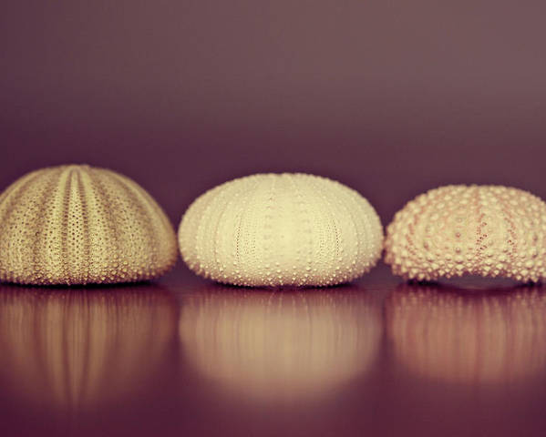 Sea Urchin Poster featuring the photograph Sea Urchin Shell by Amelia Kay Photography